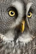 Portrait of Great Grey Owl or Lapland Owl, Strix nebulosa, a very large owl - stock photo