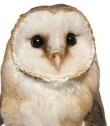 Portrait of Barn Owl, Tyto alba, in front of white background Stock Photos