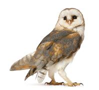 Barn Owl, Tyto alba, standing in front of white background Stock Photos