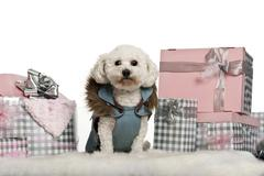 Maltese, 5 years old, sitting with Christmas gifts in front of white background - stock photo