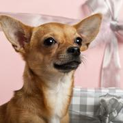 Close-up of Chihuahua, 10 months old, with Christmas gifts in front of white bac - stock photo