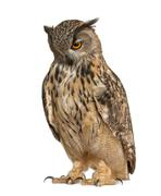 Eurasian Eagle-Owl, Bubo bubo, a species of eagle owl, standing in front of whit - stock photo