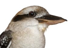 Laughing Kookaburra, Dacelo novaeguineae, in front of white background Stock Photos
