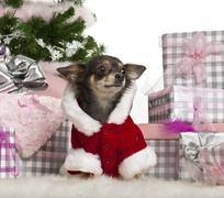 Chihuahua, 1 year old, with Christmas gifts in front of white background - stock photo