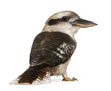 Portrait of Laughing Kookaburra, Dacelo novaeguineae, a carnivorous bird in the  Stock Photos