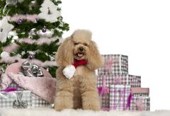 Poodle, 5 years old, sitting with Christmas tree and gifts in front of white bac Stock Photos