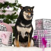 Shiba Inu, sitting with Christmas tree and gifts in front of white background Stock Photos