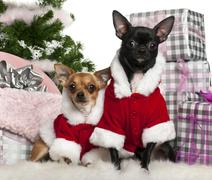 Chihuahuas, 18 months old and 1 year old, wearing Santa outfit with Christmas gi Stock Photos