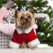 Yorkshire Terrier, 7 years old, wearing Santa outfit with Christmas gifts in fro - stock photo