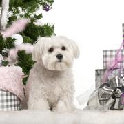 Maltese puppy, 6 months old, sitting with Christmas tree and gifts in front of w - stock photo