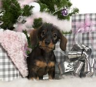 Dachshund puppy, 3 months old, sitting with Christmas tree and gifts in front of Stock Photos