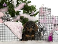 Dachshund puppy, 3 months old, sitting with Christmas tree and gifts in front of - stock photo