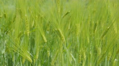 Closeup of barley field,Kargil,Ladakh,India Stock Footage
