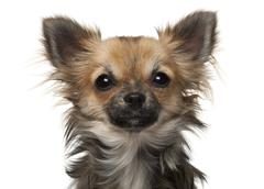 Stock Photo of Chihuahua, 7 months old, in front of white background