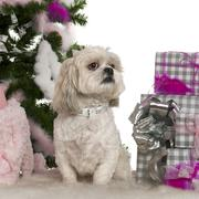 Shih Tzu, 4 years old, with Christmas tree and gifts in front of white backgroun - stock photo