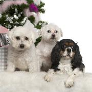 Bichon Frisé and Maltese, 12 years old and Cavalier King Charles Spaniel, 3 yea Stock Photos