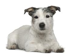 Mixed-breed dog, 7 months old, lying in front of white background Stock Photos