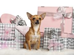 Chihuahua, 10 months old, sitting with Christmas gifts in front of white backgro - stock photo