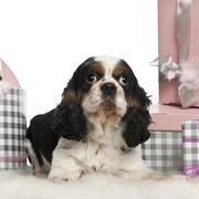 Cavalier King Charles Spaniel, lying with Christmas gifts in front of white back Stock Photos
