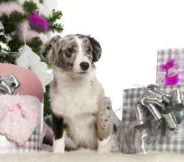 Miniature Australian Shepherd puppy, 5 months old, with Christmas tree and gifts - stock photo