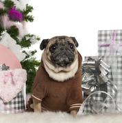 Pug, 6 years old, with Christmas tree and gifts in front of white background Stock Photos