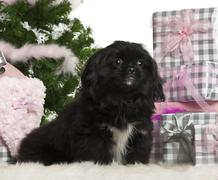 Pekingese puppy, 5 months old, sitting with Christmas tree and gifts in front of - stock photo