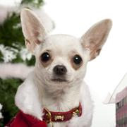 Close-up of Chihuahua, 8 months old, with Christmas gifts in front of white back - stock photo