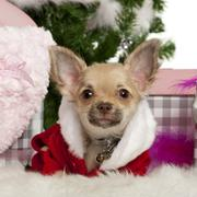 Chihuahua puppy, 5 months old, with Christmas gifts in front of white background Stock Photos