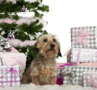 Dachshund, 3 years old, sitting with Christmas tree and gifts in front of white  - stock photo