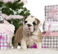 English Bulldog puppy, 2 months old, with Christmas gifts in front of white back - stock photo