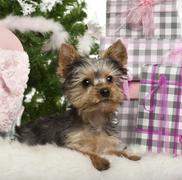 Yorkshire Terrier puppy, 3 months old, lying with Christmas gifts in front of wh - stock photo