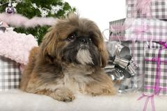 Lhasa Apso, 1 year old, lying with Christmas gifts in front of white background - stock photo