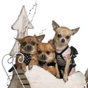 Chihuahuas, 3 years old and 1 year old, in Christmas sleigh in front of white ba - stock photo