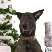 Close-up of Belgian Shepherd Dog, Malinois, 20 months old, with Christmas gifts  - stock photo
