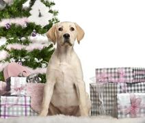 Labrador Retriever puppy, 4 months old, sitting with Christmas tree and gifts in - stock photo