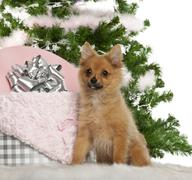 Japanese Spitz puppy, 4 months old, sitting with Christmas tree and gifts in fro - stock photo