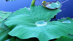 Water Drop  On Torn Lotus Leaf, Moving Slowly Stock Footage