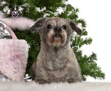 Havanese, 12 years old, lying with Christmas gifts in front of white background - stock photo