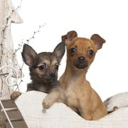 Chihuahua puppies, 4 months and 3 months old, in Christmas sleigh in front of wh - stock photo