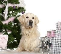 Golden Retriever, 8 years old, lying with Christmas gifts in front of white back - stock photo