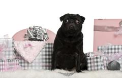 Pug sitting with Christmas gifts in front of white background Stock Photos