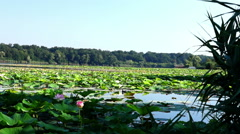 Lotus Flower With Coot In Lake Stock Footage