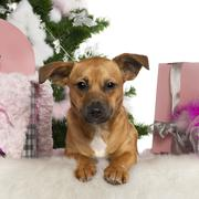 Mixed-breed dog, 7 months old, with Christmas tree and gifts in front of white b - stock photo