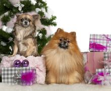 Pomeranian, 2 years old, and Chihuahua, 4 years old, with Christmas tree and gif - stock photo