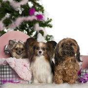 Chihuahua, 18 months old, getting out a box, with Papillon, 5 years old, and Shi Stock Photos