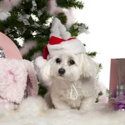 Maltese, 2 years old, with Christmas tree and gifts in front of white background - stock photo