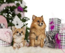 Chihuahua, 3 years old, with Pomeranian, 2 years old, with Christmas tree and gi - stock photo