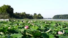 Lotus Flowers, Lake, Kayaks, Forest, Zen - stock footage