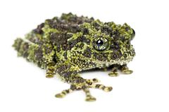 Mossy Frog, Theloderma corticale, also known as a Vietnamese Mossy Frog, or Tonk - stock photo