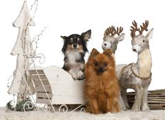 Chihuahua, 3 years old, and German Spitz, 2 years old, in Christmas sleigh in fr - stock photo